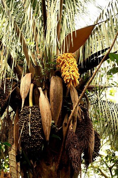 Fleurs Arbres Arecaceae Fleur Palmier
