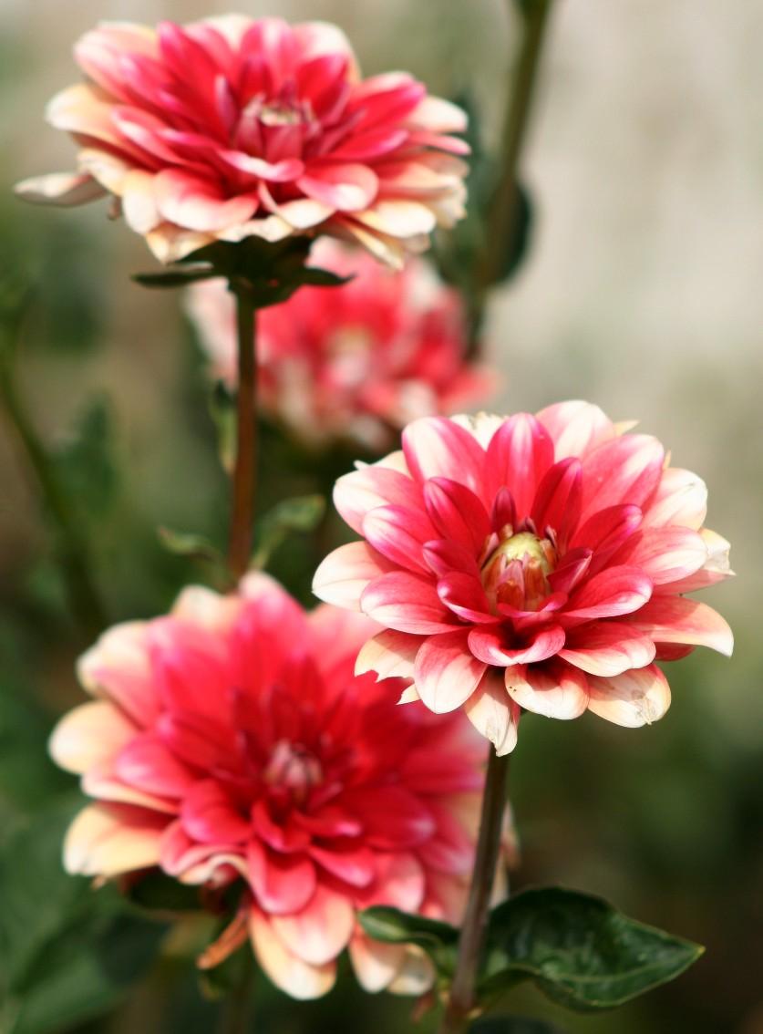 fleurs - tubercule - dahlia blanc et rouge