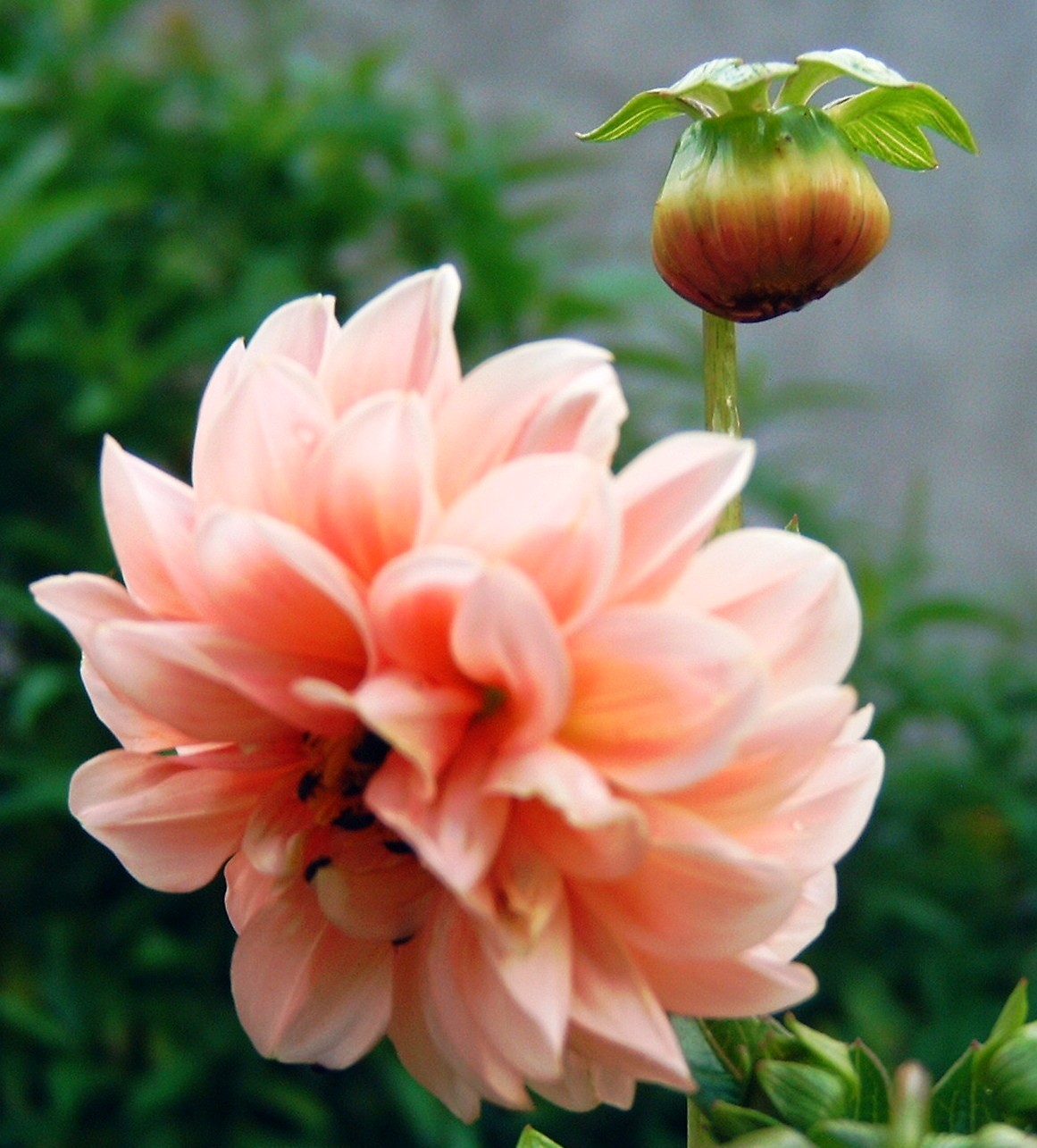 Fleurs Tubercule Dahlia Rose