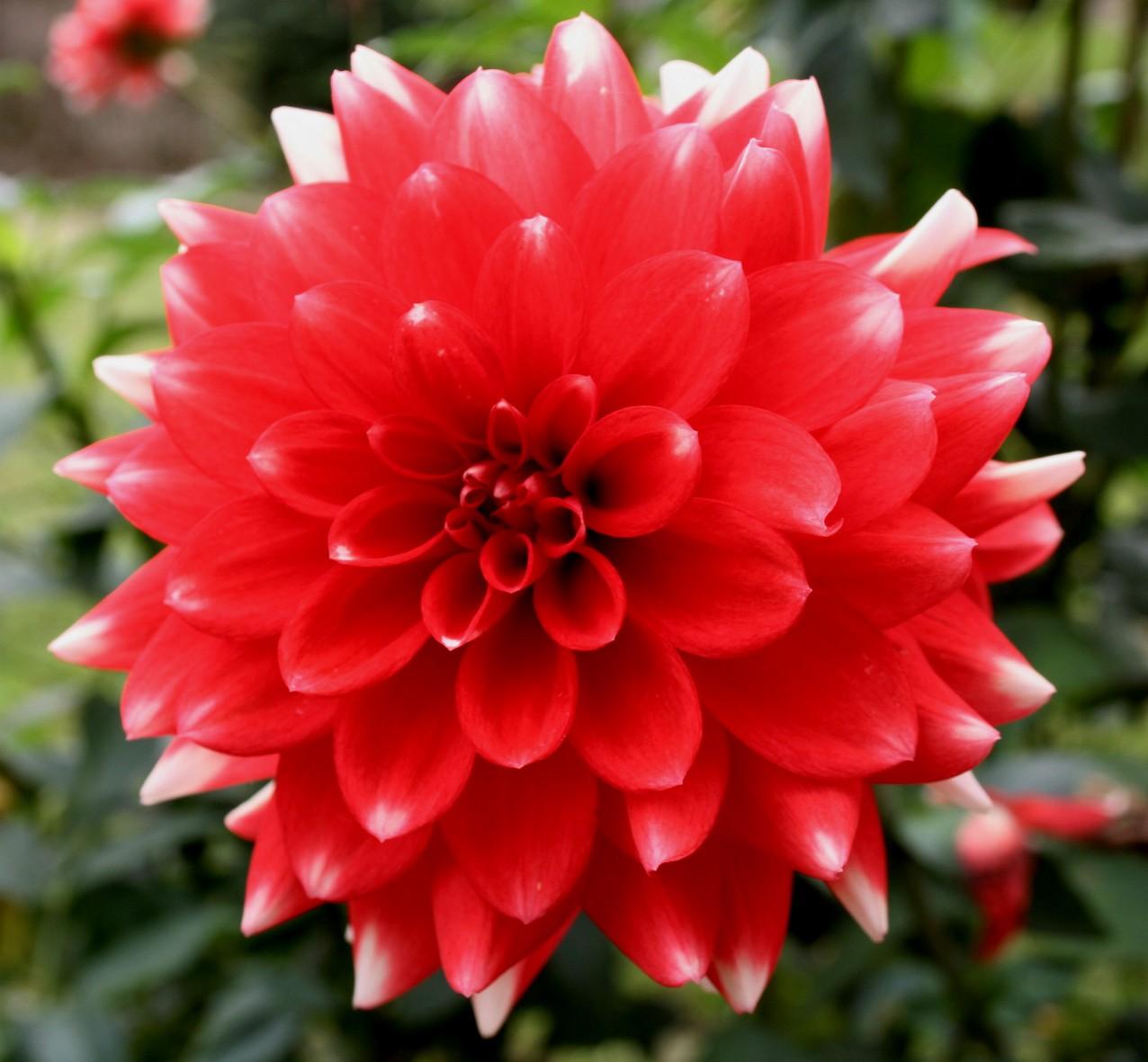 fleurs - tubercule - dahlia rouge asteraceae compositae dahlia
