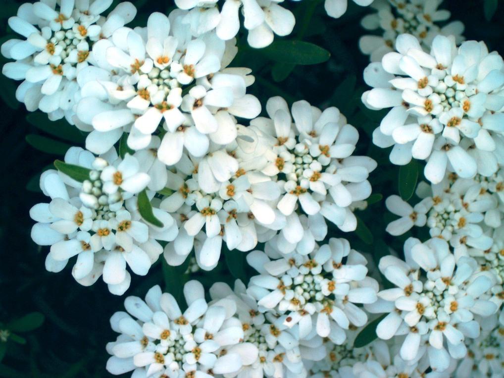 Fleurs Vivaces Corbeille D Argent