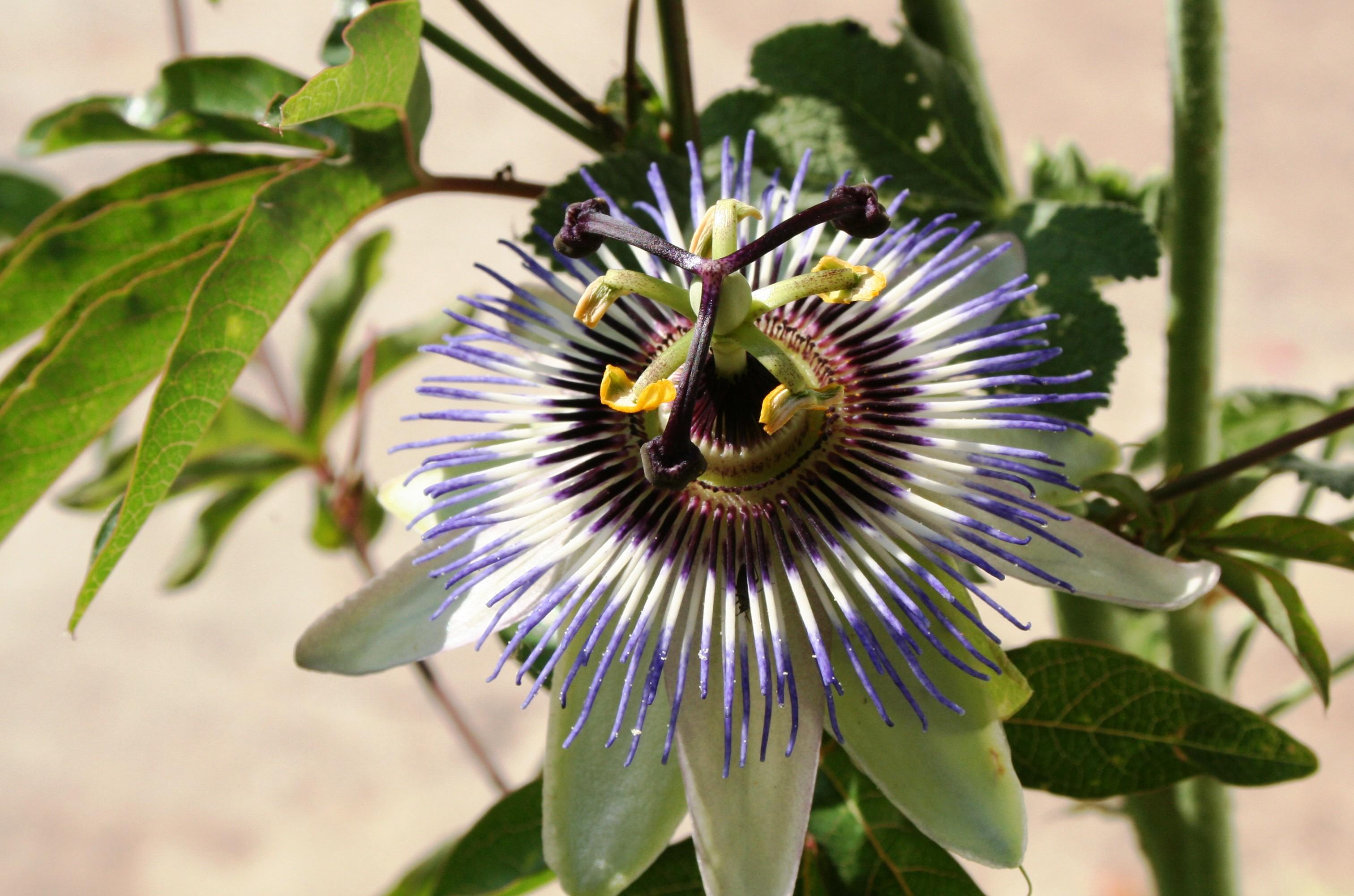 Fleurs Vivaces Passiflore Passifloraceae Passiflora Caerulea
