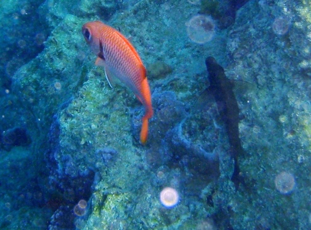 Index albums photos photos de faune poissons myripristis for Big eye squirrel fish